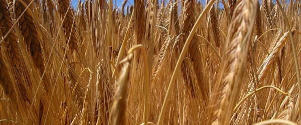 Culture du blé : un enjeu majeur pour l'Afrique