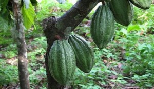 cacao-pluie-economie-afrique