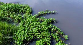 Bénin : Green Keeper Africa exploite le potentiel dépolluant de la jacinthe d'eau
