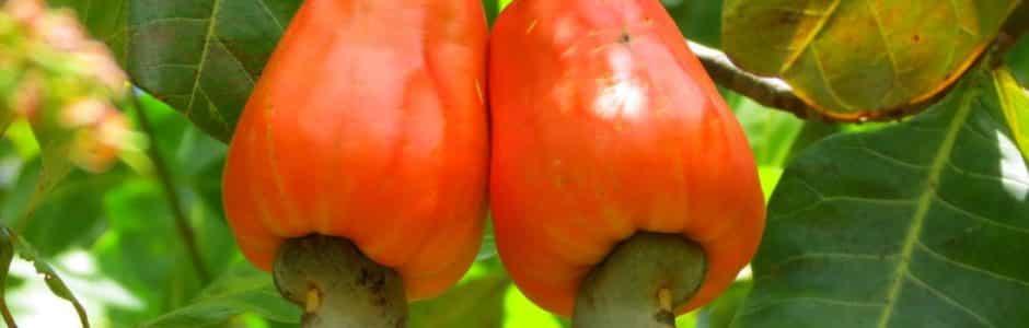 La noix de cajou, fruit de l'exception ivoirienne